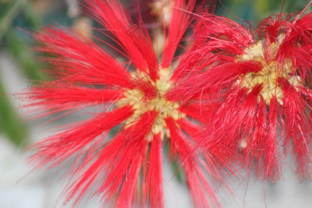 Mediterane Blume
