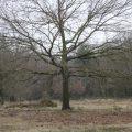 Baum Wahner Heide