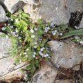 Blumen GR 221