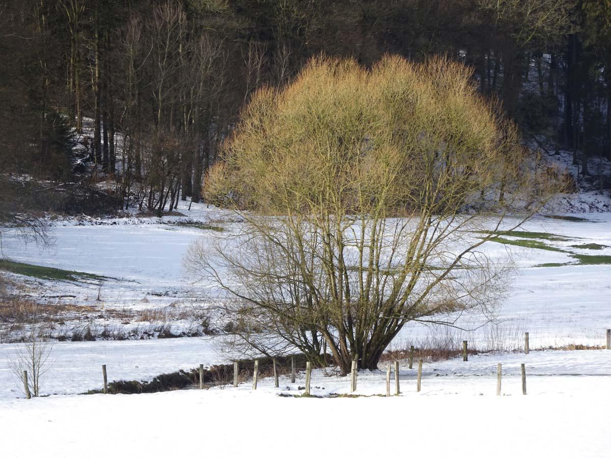 Eifgenbachweg Baum