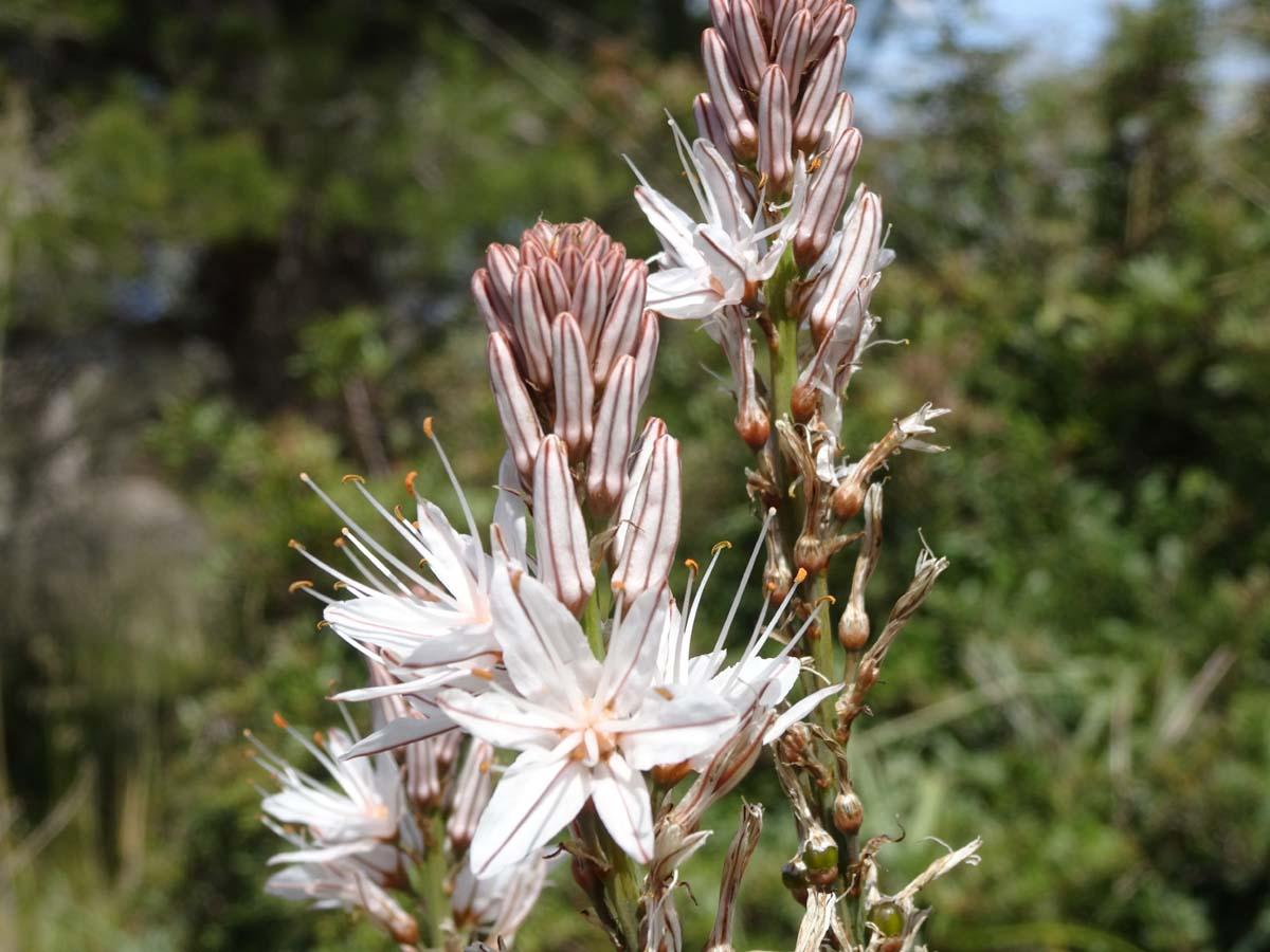 GR 221 Blume Wanderanfänger