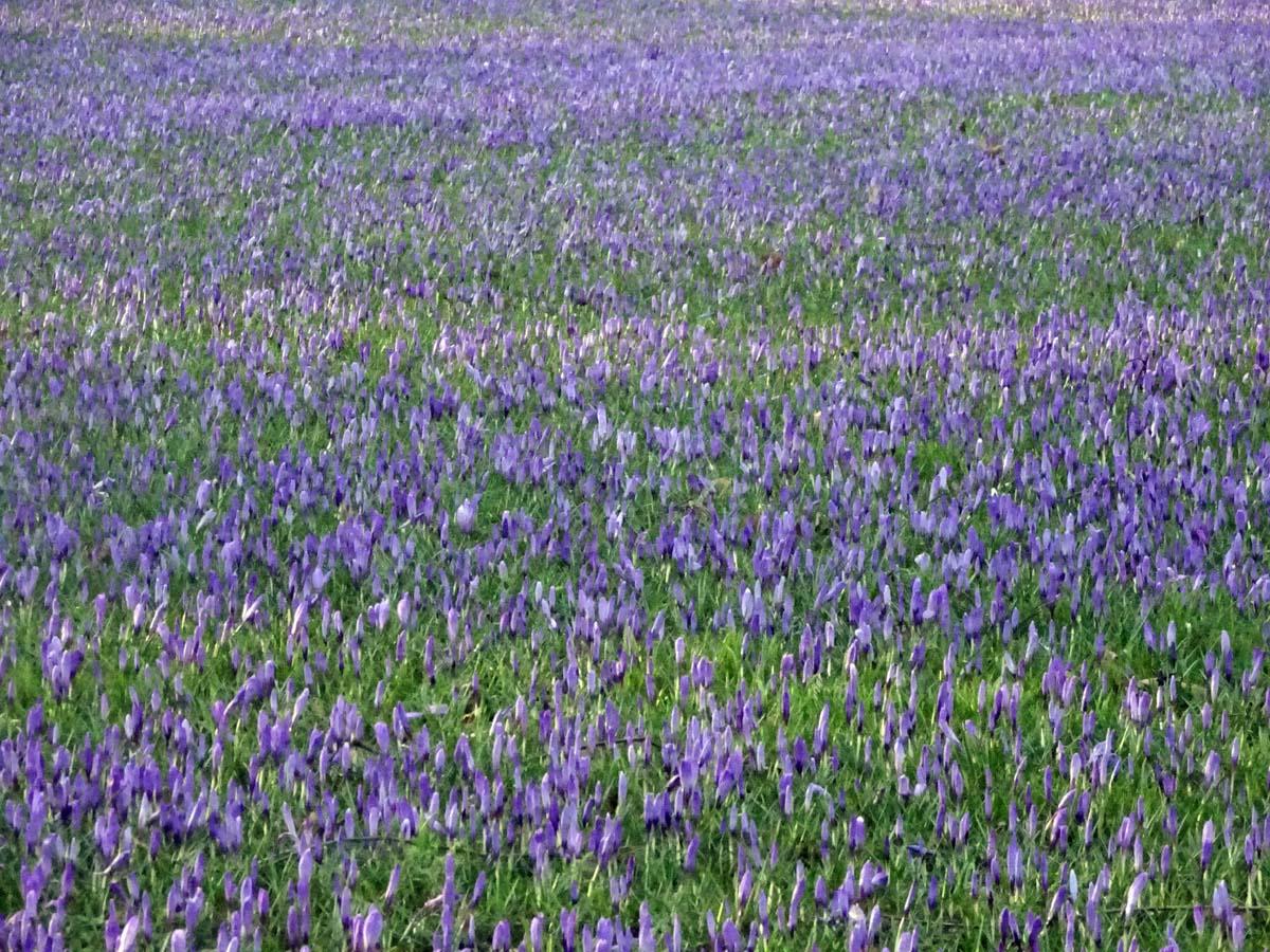 Krokusblüte Husum Teppich
