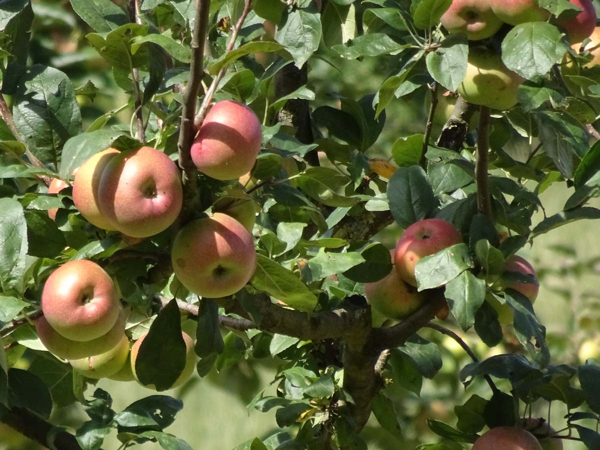 Obstweg Äpfel