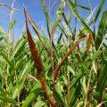 Obstweg Mais