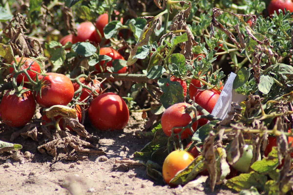 Tomatenfeld